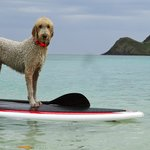 Dogs love the beach and paddle boarding too