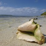 Conch on the beach in the Gardens of the Queen