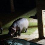 Hippo in the garden