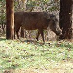 Warthogs make great dinners