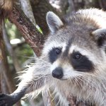 Colse up view of a raccoon.