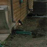 Woodpecker pecking wall