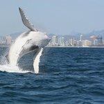 Whale breach and the Gold Coast Skyline