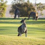 Kangaroos at the Golf Course