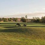 Kangaroos on the Golf Course