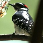 Woodpecker Feeding by window