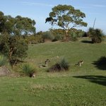 Kangaroos at Deep Creek.