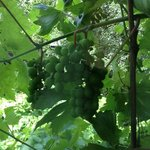 See the grapes growing from the Balcony Room