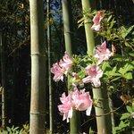 bamboo and azaleas