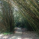 lots of bamboo