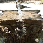 Mourning Dove cools off in a fountain