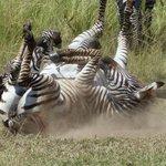 Zebra beim Game Drive