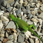 There are many small lizards darting all over the paths