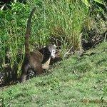 Coati on the lodge grounds