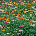 Field of blooms