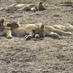 The lions cubs and us close up