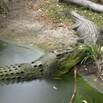 Two crocs enjoying the attention