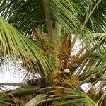Die Kokosnüsse zum Greifen nahe.
