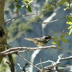 Black-throated grey warbler, attracted in by David 'pishing'