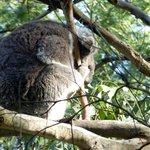 Koala on treetop