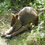 Kangaroo on the ground