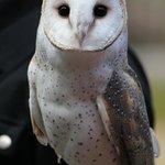 Ivy the Barn Owl