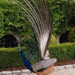 peacock walking in the garden
