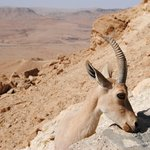 DO NOT FEED the ibex. Please!!!