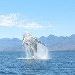 Humpback Whale Breaching - Mar.25.2014. Loreto