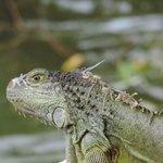 I love the iguanas