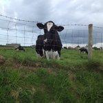 Friendly neighbourhood cow