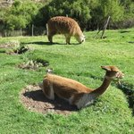vicunas and alpacas within reach