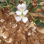 Kapernblüten in der nächsten Umgebung