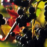 grapes, ready to harvest, with fall foliage