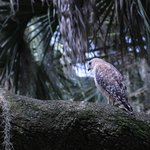 A red-shouldered hawk hunting from the trees
