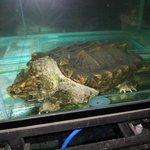 Resident Godzilla (a.k.a. Alligator Snapping Turtle)