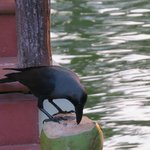 crow drinking coconut water