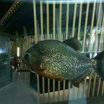 piranha in acquari