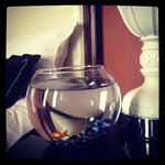 Complimentary Goldfish for room