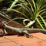 Iguanas wander through the common garden area