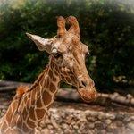 Люблю жирафов
