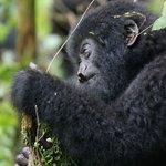Gorilla Trekking DRC 2