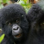 Gorilla Trekking DRC