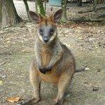 small kangaroo (that you can feed)