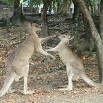 Big kangaroo trying to mate