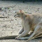 kangaroo (that you can feed)