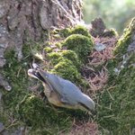 A Nuthatch in the garden
