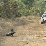 wild dogs at Hwange NP