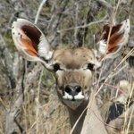 Kudu in Hwange NP