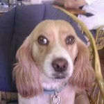 Pebbles the pub mascot. She is a King Charles cross Beagle and the best girl ever!!!!
